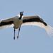 Small photo of Black-necked Stork: Jabiru