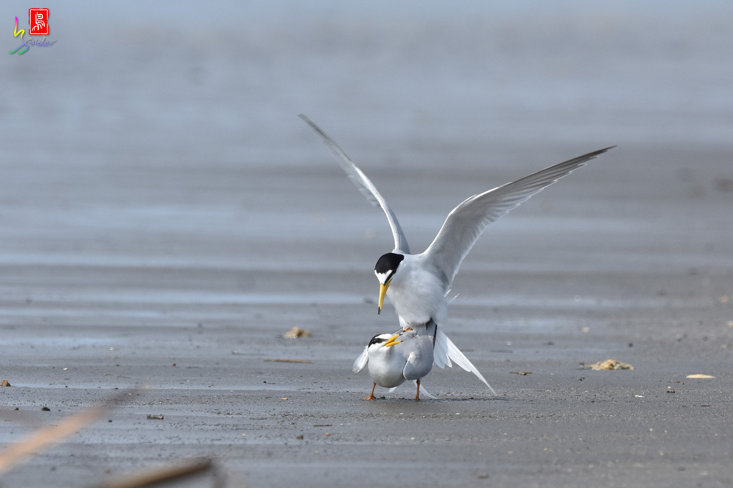Little_Tern_4397