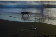 The black dog, L'Etang-Salé, Reunion Island