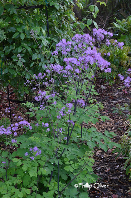 thalactrum-meadow-rue