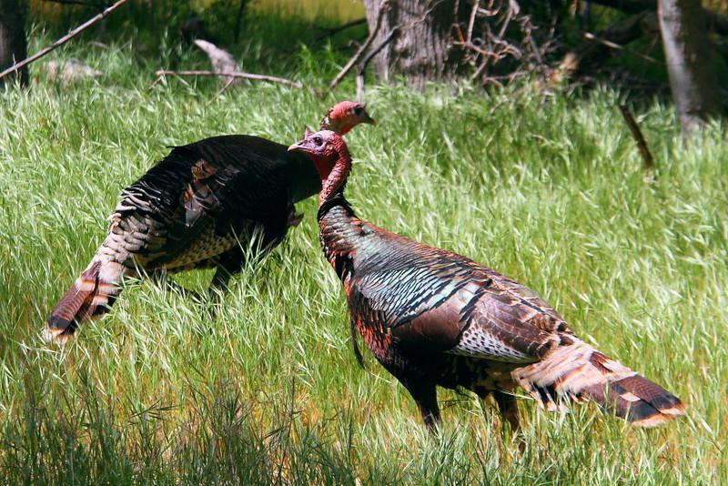 IMG_5326 Wild Turkey, Zion National Park