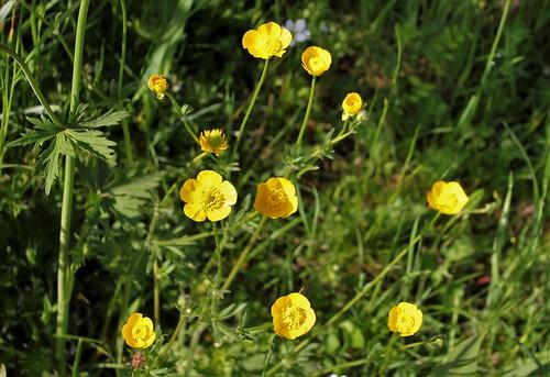 Ranunculus acris - renoncule âcre  41482628444_1642cd0a04