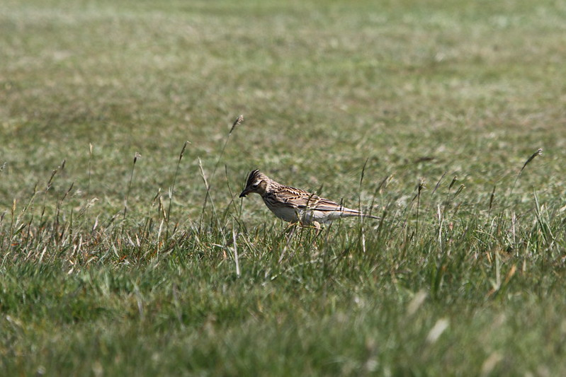 Skylark with food