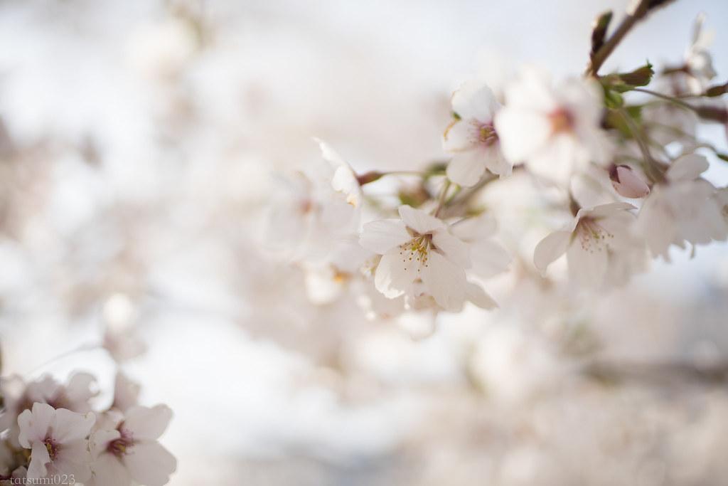 2018-04-13 河口湖の桜 003