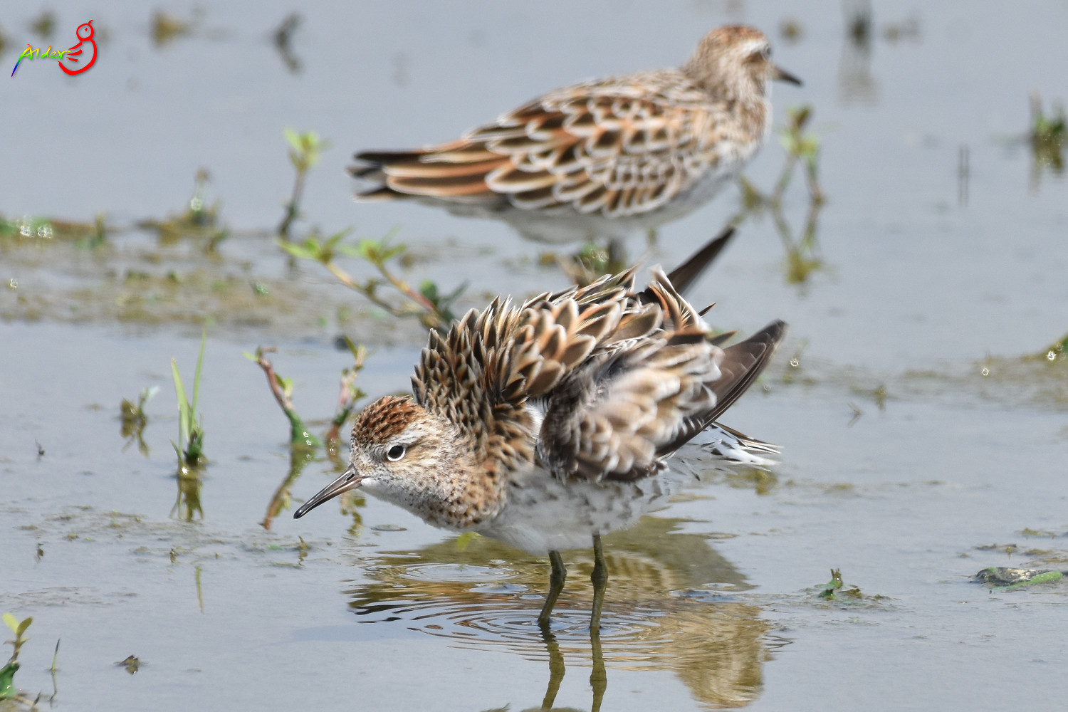Sharp-tailed_Sandpiper_5606