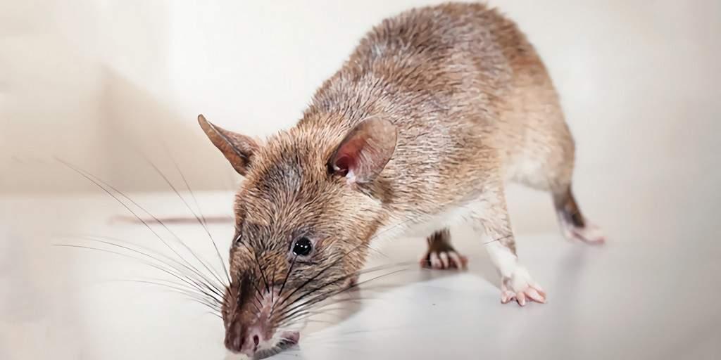 Les rats peuvent détecter la tuberculose