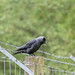 Jackdaw in Weald Country Park