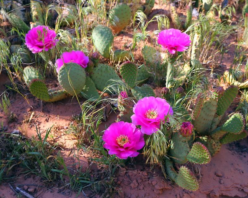 IMG_3203 Beavertail Cactus, Zion National Park