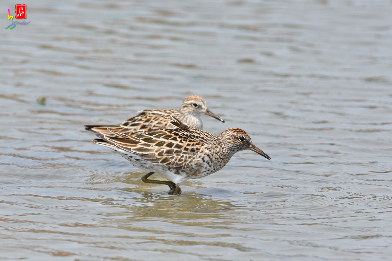 Sharp-tailed_Sandpiper_3615