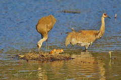 New Family of Sandhill Cranes