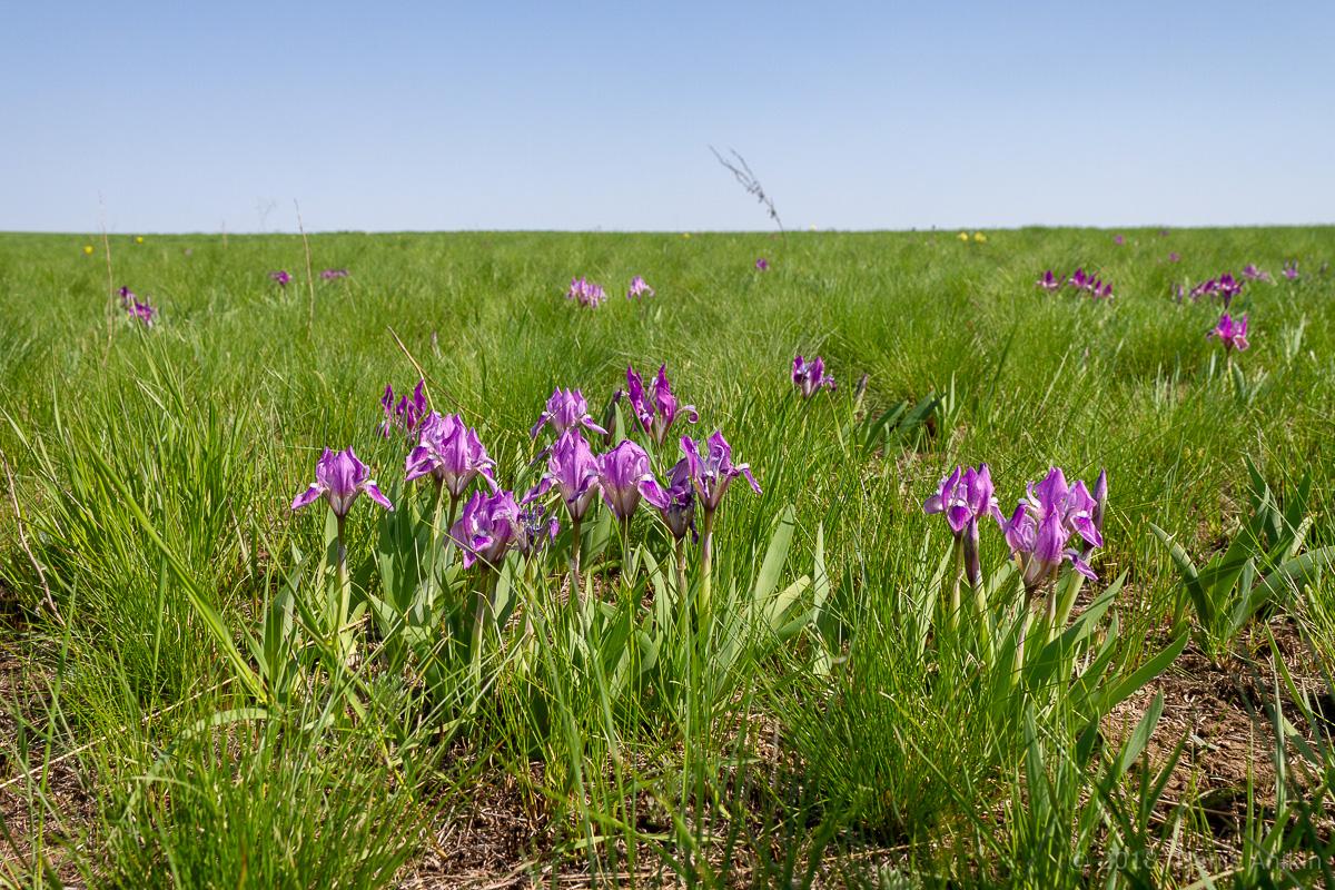 ирисы иваново поле саратовская область фото 2
