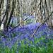 King's Wood Bluebells