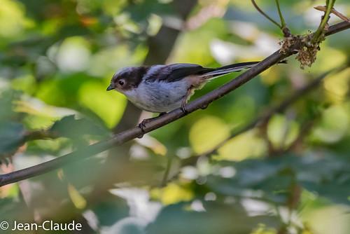 Aegithalos caudatus - Long-tailed