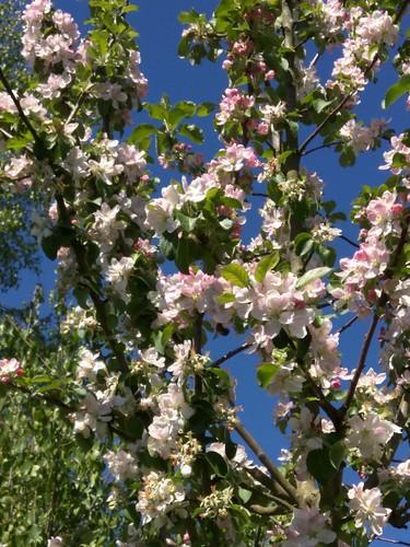 Apfelblüte an der Pinnau
