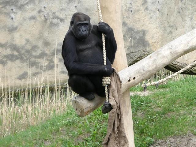 Gorilla Djambala, Zoo Berlin