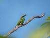 Green bee-eater (பச்சை பஞ்சுருட்டான்)