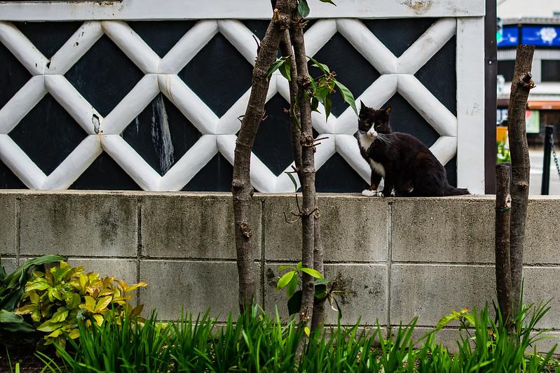 有松のなまこ壁と黒ネコ