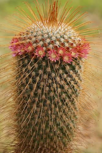 Mammillaria magnifica 28399633048_b2a6143670