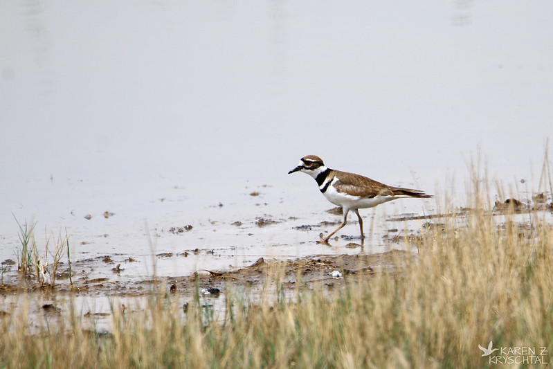IMG_4129Killdeer
