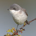 lesser whitethroat 1 2018