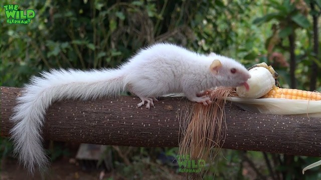 The hungry white squirrel