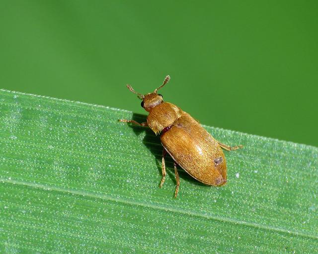 Raspberry Beetle - Byturus tomentosus