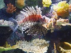 Akron Zoo 06-06-2014 - Lionfish 1