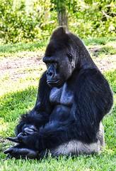 Silverback Gorilla. Nikon D3100. DSC_0419