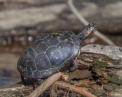 Spotted Turtle (Clemmys guttata) (DAR026)