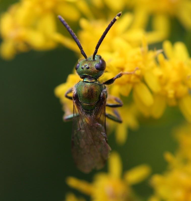 Shiny Green Sweat Bees