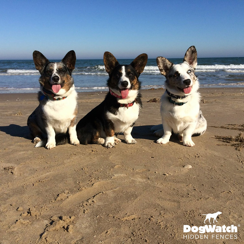 Chloe, Turbo and Clover, Corgis, Stateline DogWatch