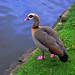 Egyptian Goose at Golders Hill Park by mraj october