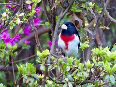 Grosbeak and Azalea