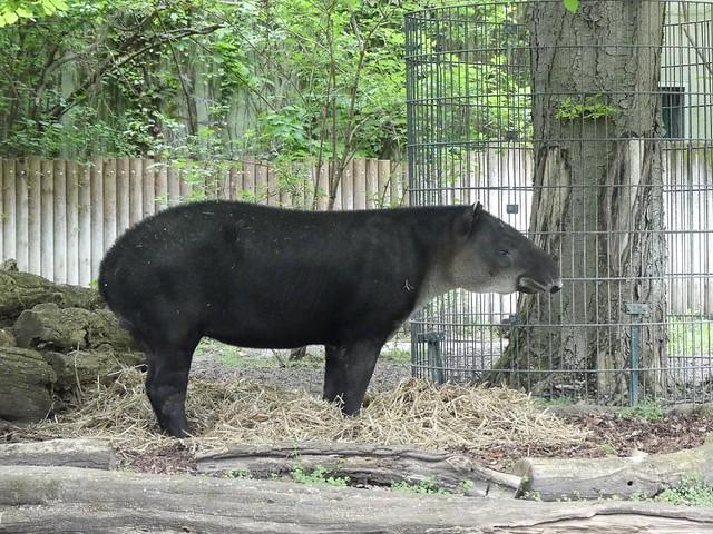 Tapir, Zoo Berlin