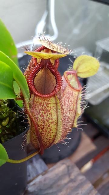 N. Hamata x Undulatifolia