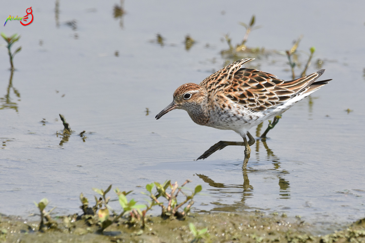 Sharp-tailed_Sandpiper_5538