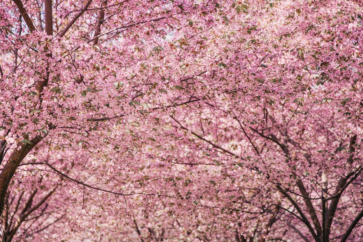 roihuvuori kirsikkapuisto annieveliina-6
