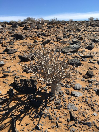 Othonna furcata in habitat