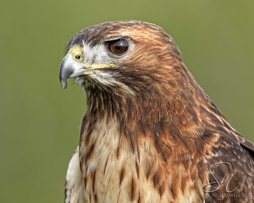 Red-Tailed Hawk 7173-18
