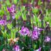 Columbine (Aquilegia) Flowers in the Rain 9995