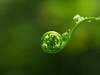 Photo:Fiddlehead of young fern By Greg Peterson in Japan