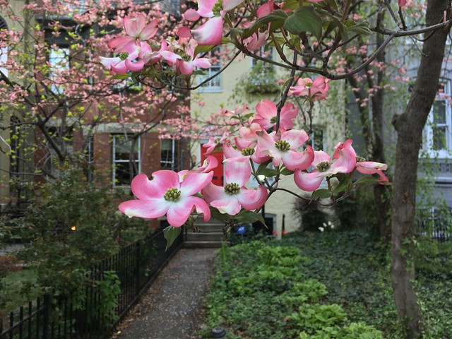 April dogwoods 2018