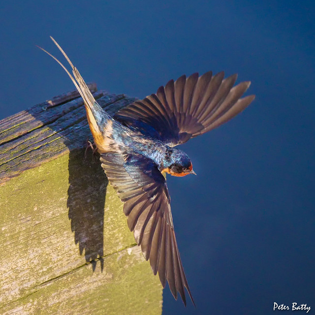 Barn Swallows in action