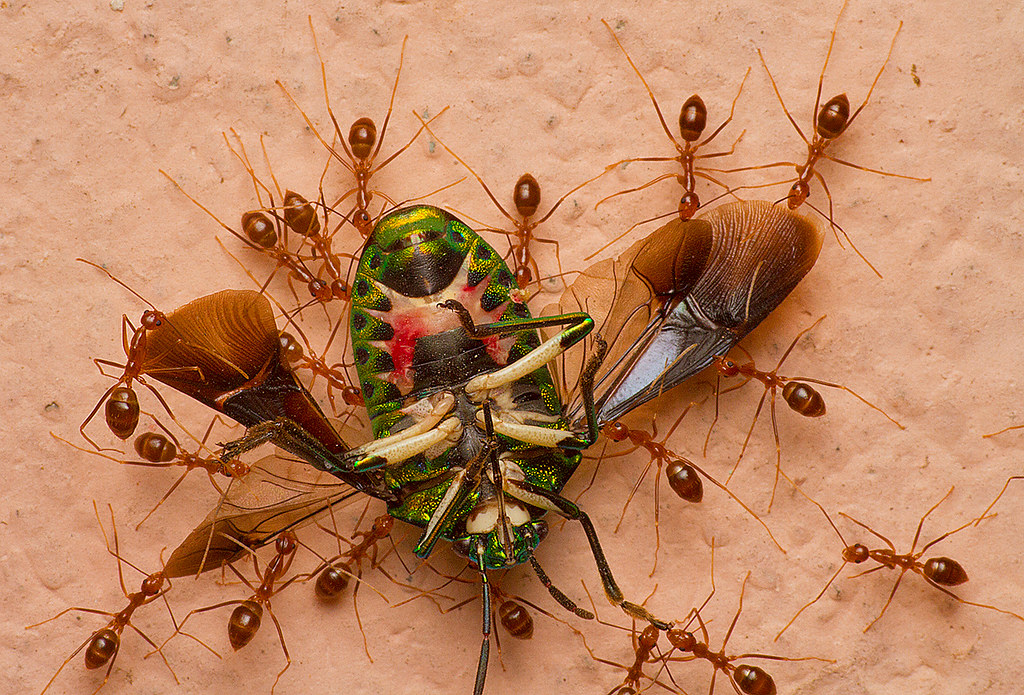 Jewel bug, being carried by Crazy yellow ants to the nest