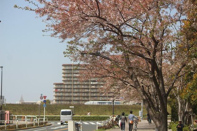 korokujinja-sakura017