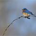 Eastern Bluebird (M) by nomoredarkroom