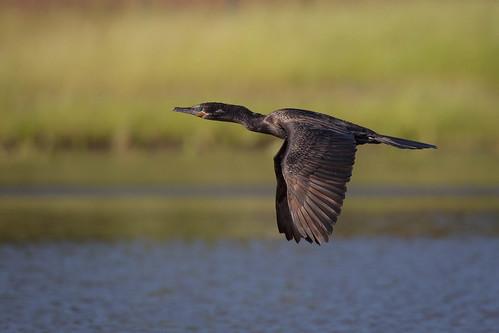 doublecrestedcormorant bird flight bif wildlife animal nature golfcourse explorationgreen clearlakecitywaterauthority houston texas gseloff