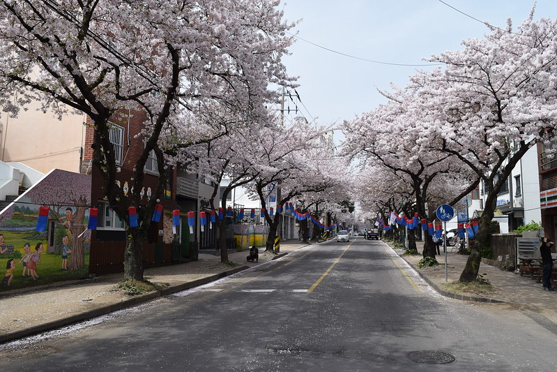 Jeju CHerry Blossoms (6)