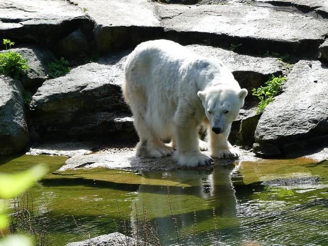 Eisbär Katjuscha, Zoo Berlin