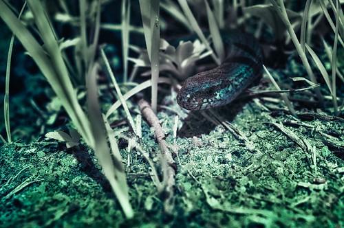 Infrared - blind worm